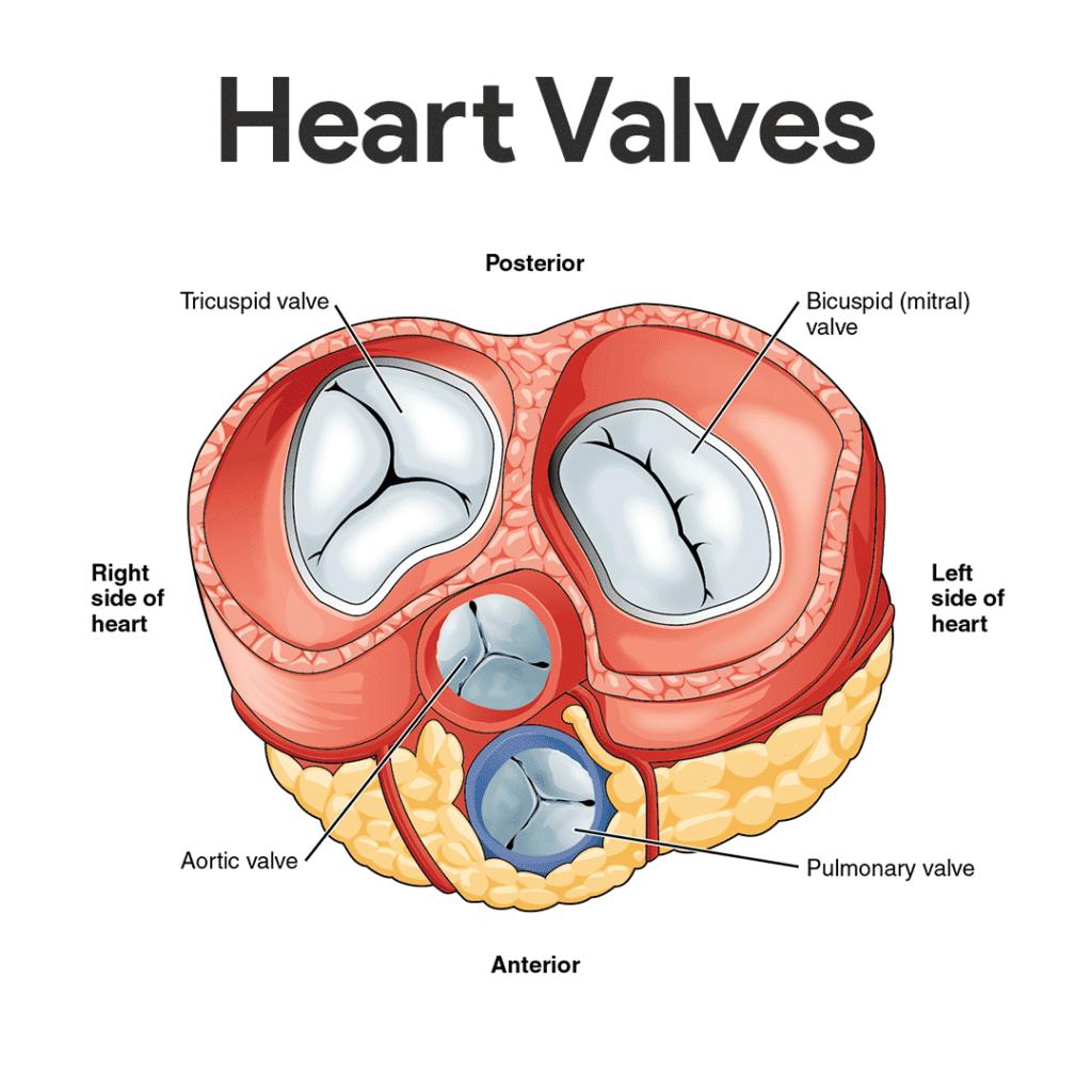 صمامات القلب